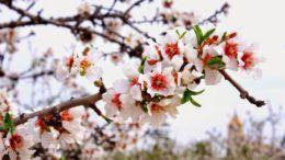 Праздник «Цветущий миндаль»