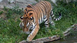 Амурский тигр из Московского зоопарка