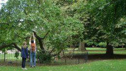 Шелковица, посаженная русским царем Петром I в восточном районе Лондона Дептфорде © Sayes Court Garden C.I.C.