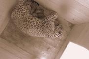 Две самки краснокнижного переднеазиатского леопарда родили котят в Сочинском нацпарке