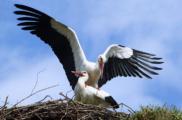 Орнитологи хотят построить под Псковом первый в РФ реабилитационный центр для белых аистов
