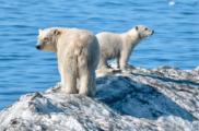 Умка сходит со льдины. В красноярской Арктике замечено странное поведение белых медведей